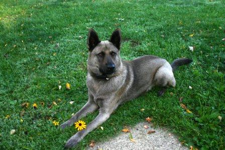 Norwegian Elkhound mix - Lucky